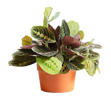 Live Maranta Plant In Terra Cotta Pot Pottery Barn