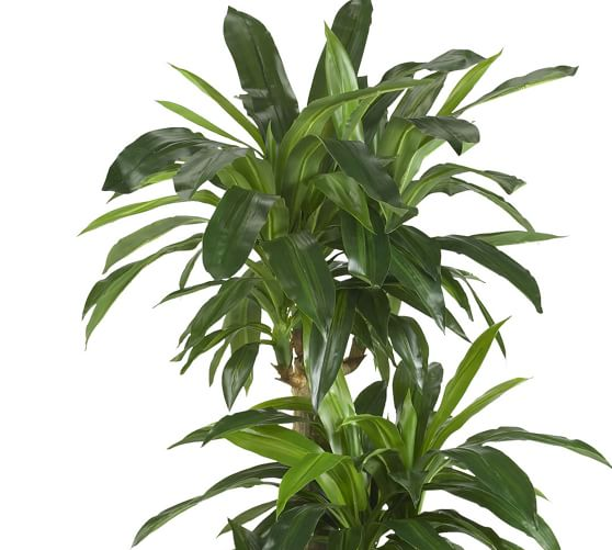 Faux Potted Corn Stalk Dracaena Plant Pottery Barn Infection, however, becomes obvious during grain fill. faux potted corn stalk dracaena plant